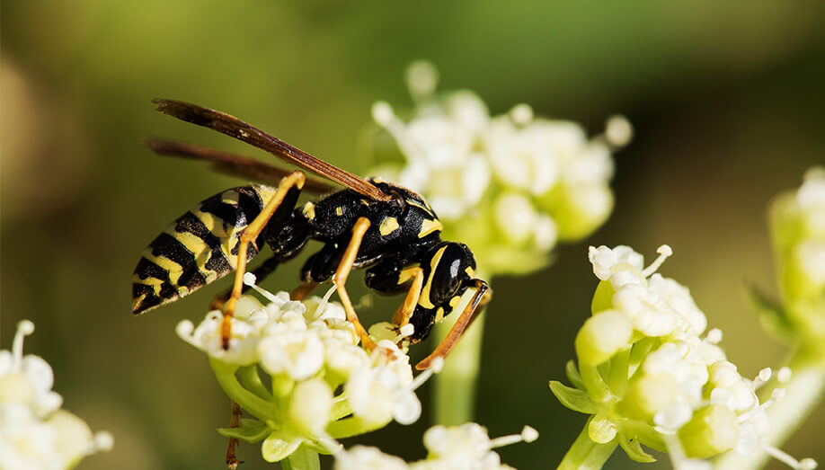 summer paper wasp stinging insect
