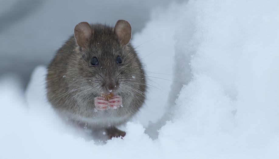 rat in snow