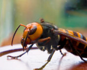 Asian Giant Hornet Glass Sentinel