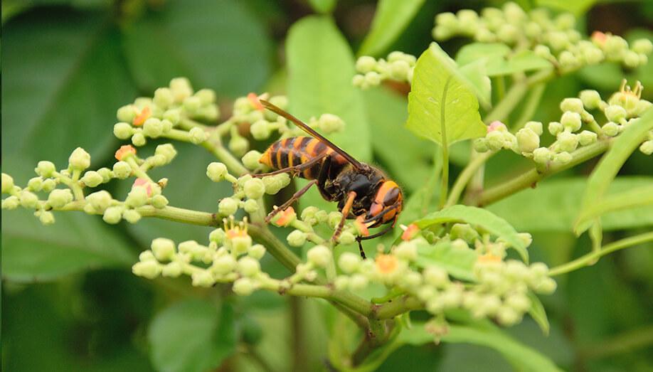 Asian Giant Hornet Plant Sentinel