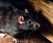 sentinel roof rat black