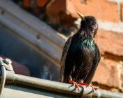starling bird sentinel pest control